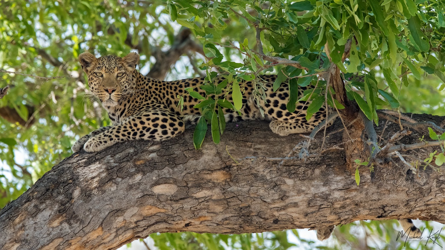 Leopard in the tree, botswana, self-drive, nikonD850, Africa, Wildlife, Bushdriving