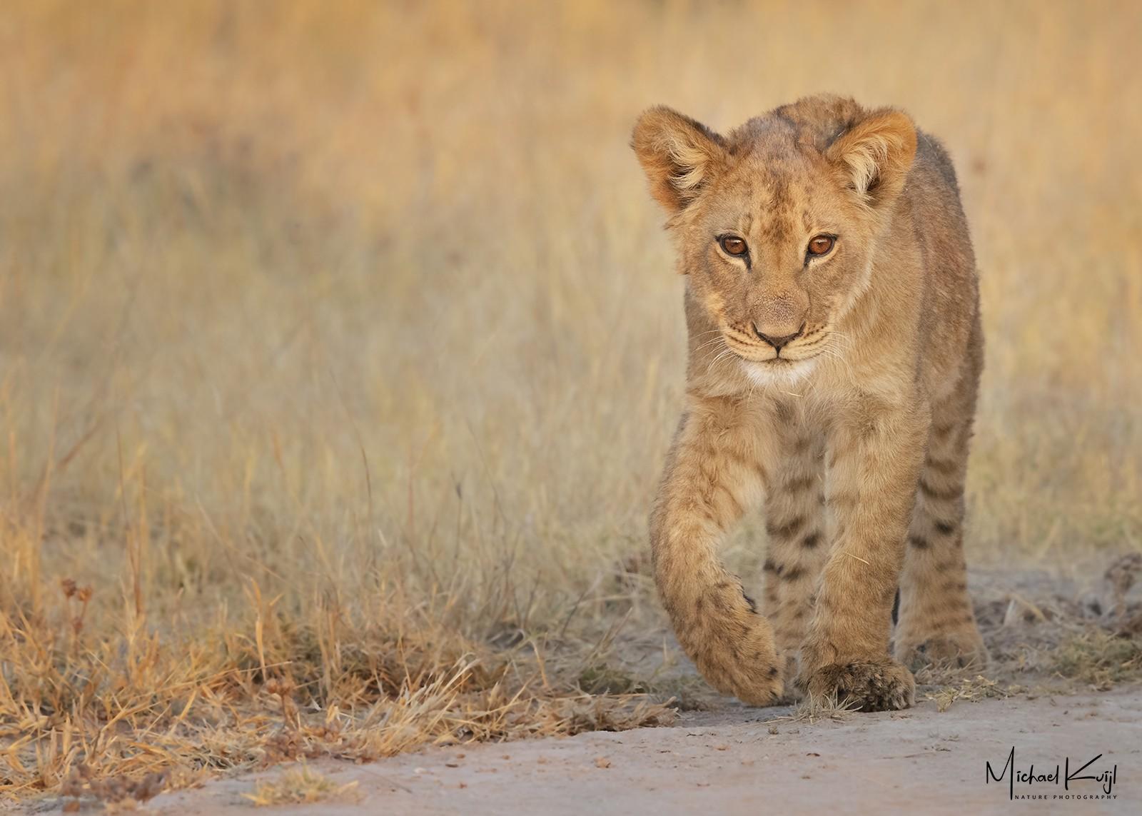 lion, cub, walking, sunset, botswana, africa